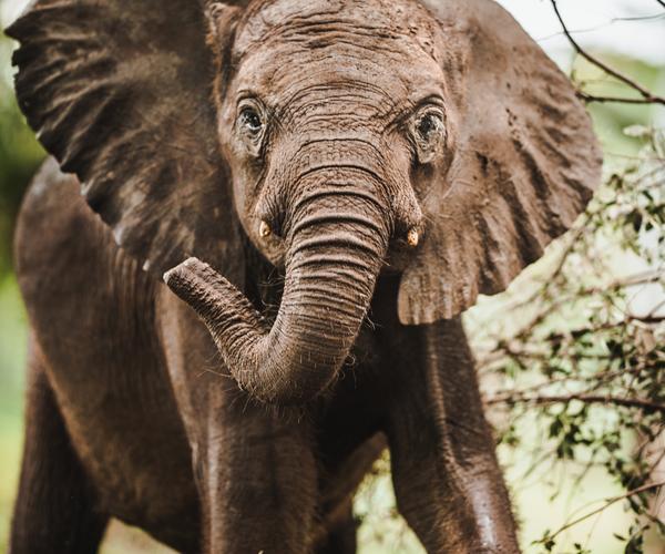 Ein historischer Moment für das ZEN-Projekt: Die Elefantenwaisen Tulku und Mfana schließen sich einer wilden Herde an