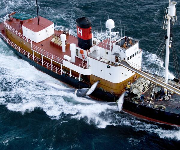 Les Islandais prennent la défense des baleines en célébrant le jour des baleines