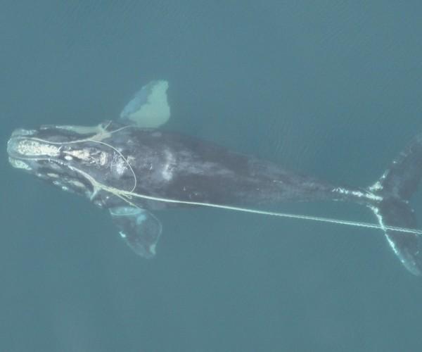 Des recherches menées par IFAW confirment que la mortalité des baleines franches de l'Atlantique nord est majoritairement due à l'homme