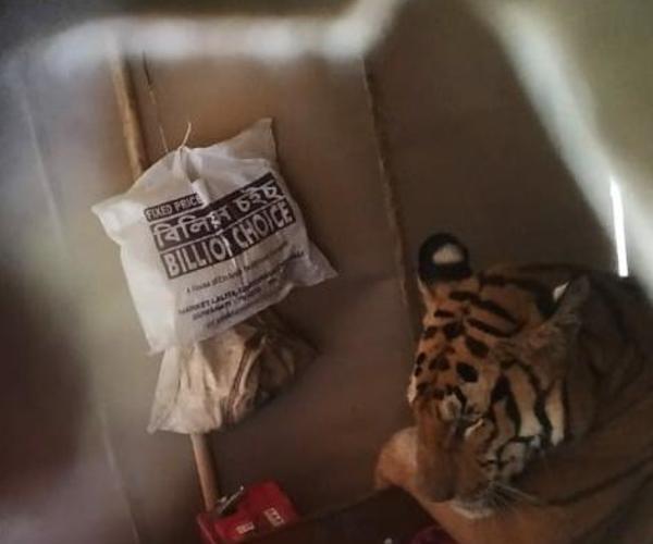 Inondations en Inde : une tigresse fait une sieste sur un lit dans une habitation (presse)