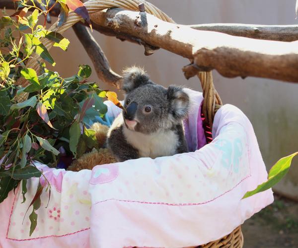 Caring for Aminya, a rescued baby koala