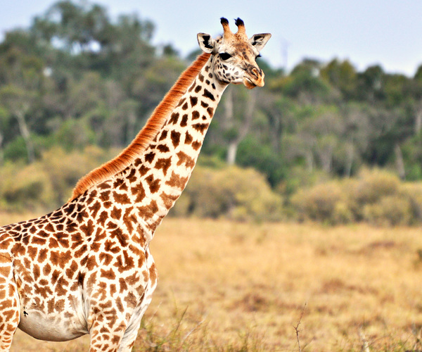 Big win for giraffes as iconic species is afforded protection from trade for first time to halt its 'silent extinction'
