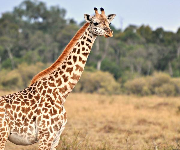 Artenschutzkonferenz: Giraffen erhalten Schutzstatus, kein Handel mit Saigaantilopen