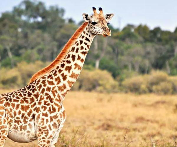 Grande victoire pour les girafes : cette espèce emblématique bénéficie pour la première fois d'une protection contre le commerce afin de mettre un terme à leur « extinction silencieuse »