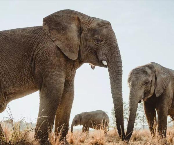 Les tentatives pour relancer le commerce international de l'ivoire échouent
