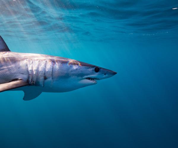 Artenschutzkonferenz: 18 Hai- und Rochenarten bekommen überlebenswichtigen Schutzstatus