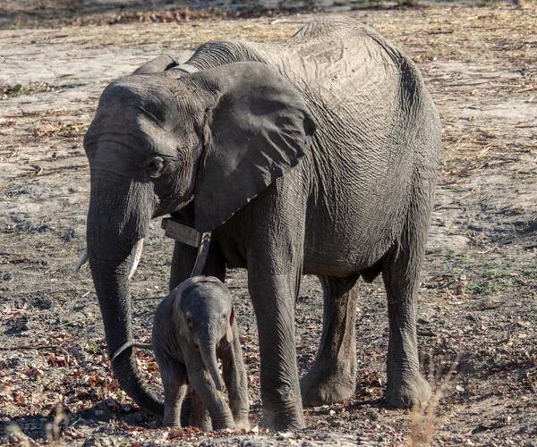 Première naissance à l'orphelinat pour éléphants IFAW-GRI