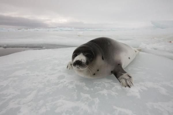 Covid-19 Pandemie führt zu drastischem Einbruch der Robbenjagd in Kanada