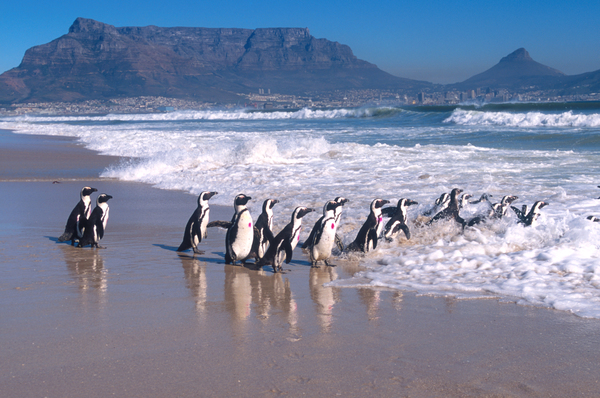 the anniversary of the world's largest animal rescue mission that saved the African penguin