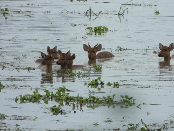 rescuing animals from the floods in Kaziranga National Park, India