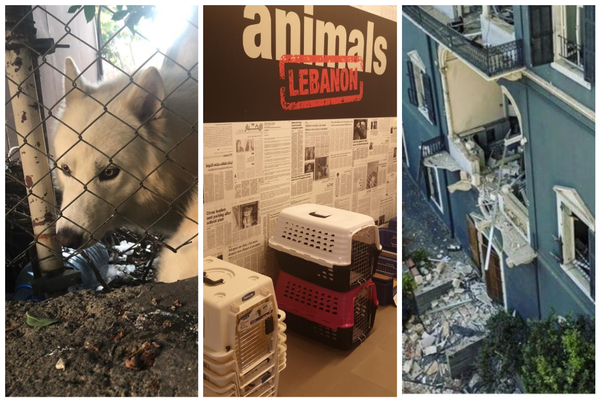 ifaw partners with Animals Lebanon to rescue animals in wake of Beirut explosion