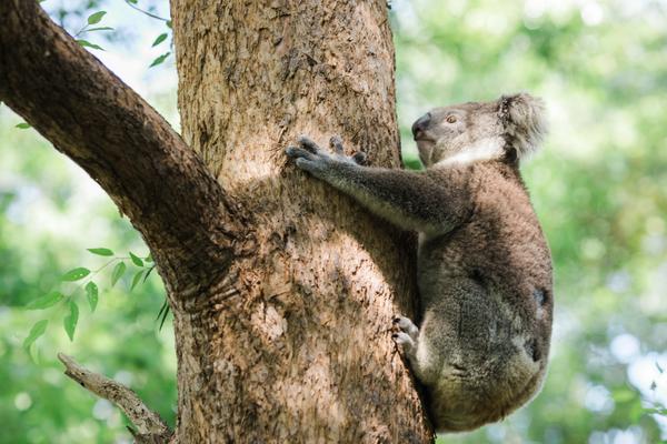 protect NSW koalas