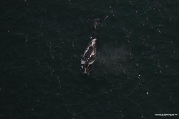 Nordatlantische Glattwale vor US Küste in Lebensgefahr