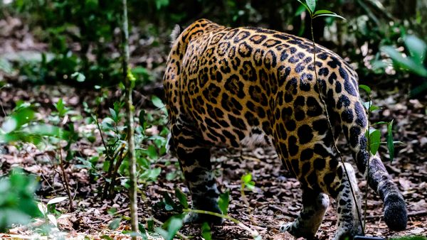 Rescued jaguar released back into the wild