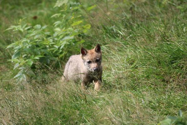 Wolfspopulation in Westpolen trotz Wachstum noch nicht sicher