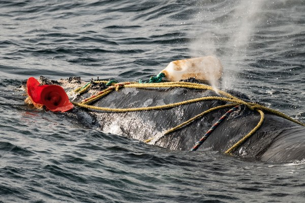 EU-US lobster deal threatens North Atlantic right whales