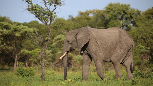 Batoka becomes the first elephant in Zambia to return to the wild