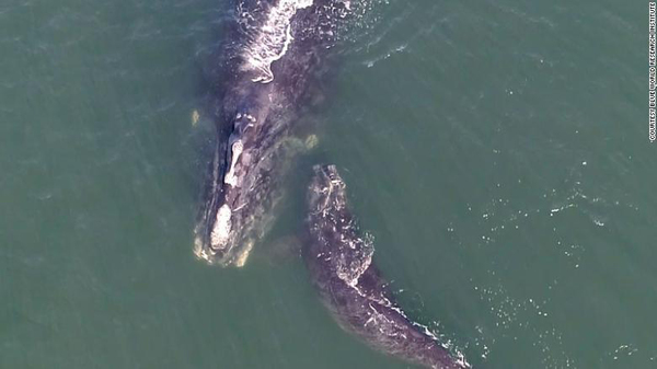 first North Atlantic right whale calf death in 2021