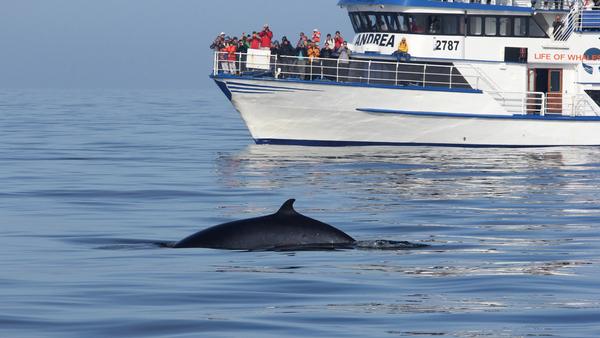 Islande: troisième année sans chasse pour les baleines