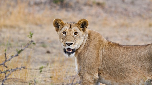 statement from ifaw on authorities' response to recent lion killings in Uganda