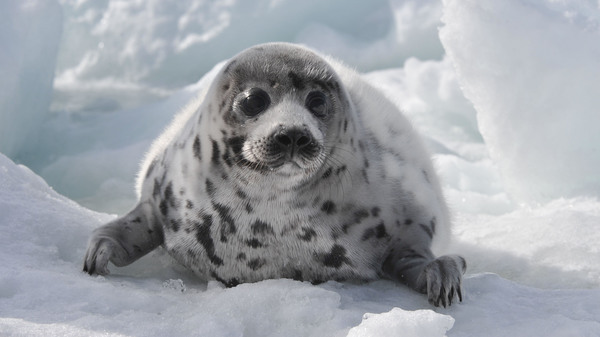 from climate change to culls, threats against harp seals continue in 2021