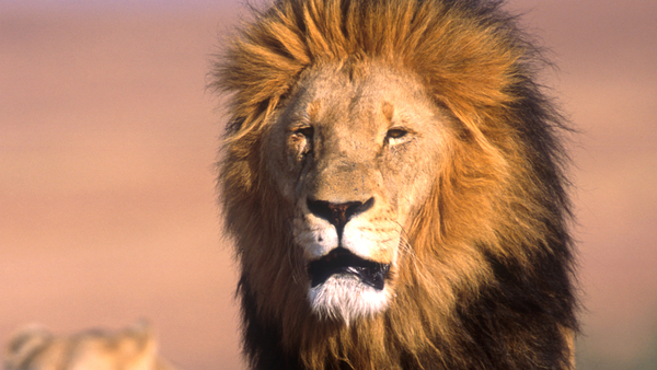 canned! South Africa to end captive breeding and canned hunting of lions
