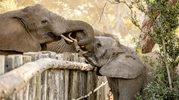 rescued elephants move to next stage of rehabilitation