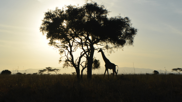 are giraffes endangered?