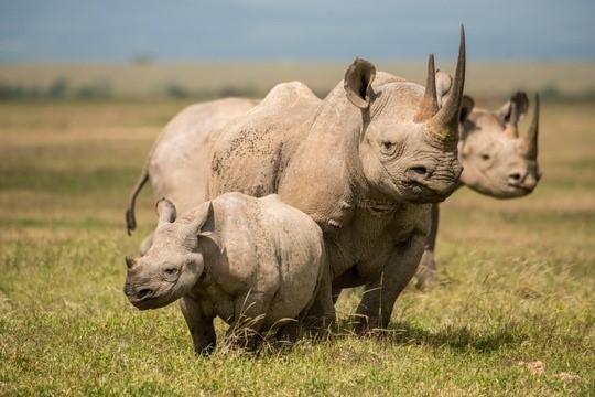 Zunahme der Nashornbestände in Kenia und keine Wilderei-Vorfälle im Jahr 2020