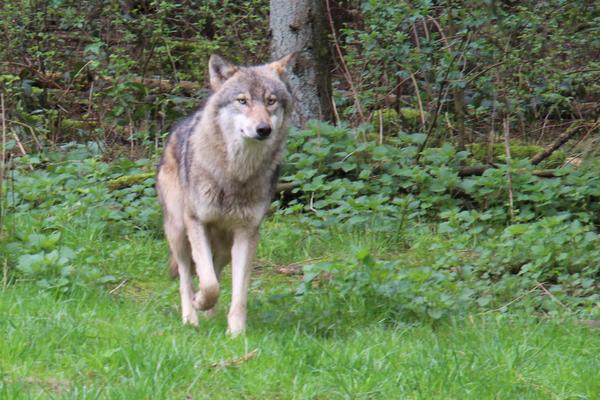 Wölfe und Weidetierhaltung – wie geht es weiter? – Verbände legen Fünf-Punkte-Plan vor