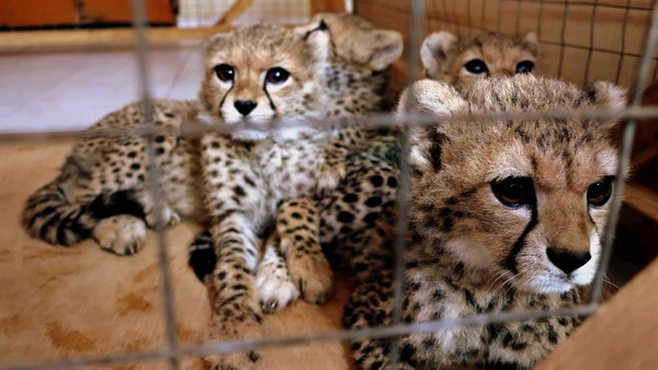 human-wildlife conflict and demand for exotic pets drive illegal trade in cheetah cubs