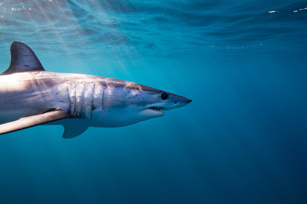 Major conservation win at CITES as a record 18 endangered species of shark and ray are afforded vital protection