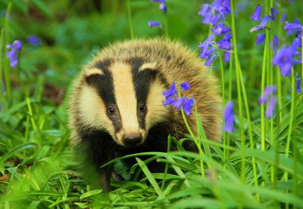 statement regarding 2019 badger cull figures