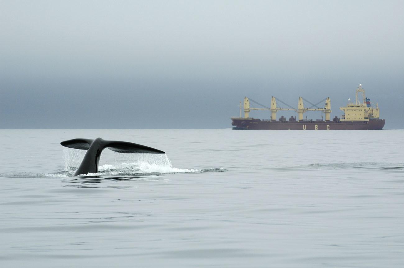 whale swimming near ship