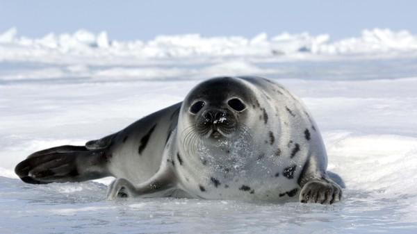 début de la saison 2021 de la chasse commerciale aux phoques au Canada