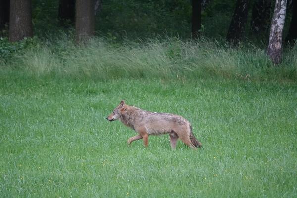De terugkeer van de wolf vraagt om proactief beleid  - manifest