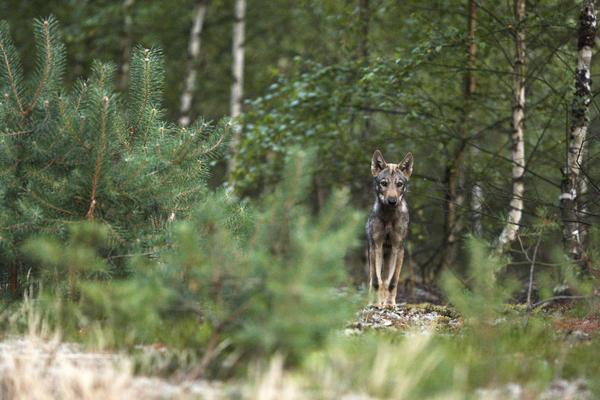 Neue Zahlen: Mehr Wolfsrudel in Westpolen