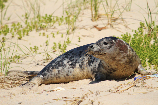 know your seal species on Cape Cod