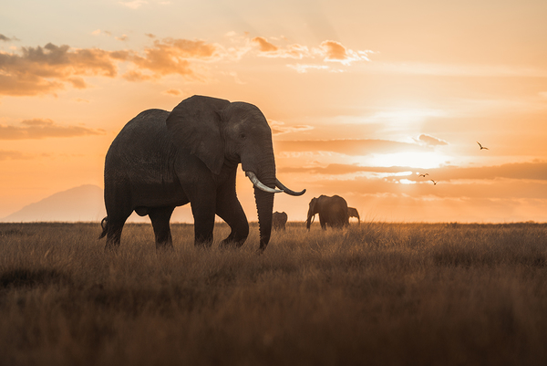 Victory for elephants as the High Court upholds the UK Ivory Act in the face of opposition