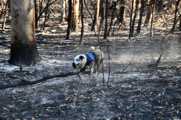 IFAW biedt noodhulp voor dieren in het noorden  van New South Wales